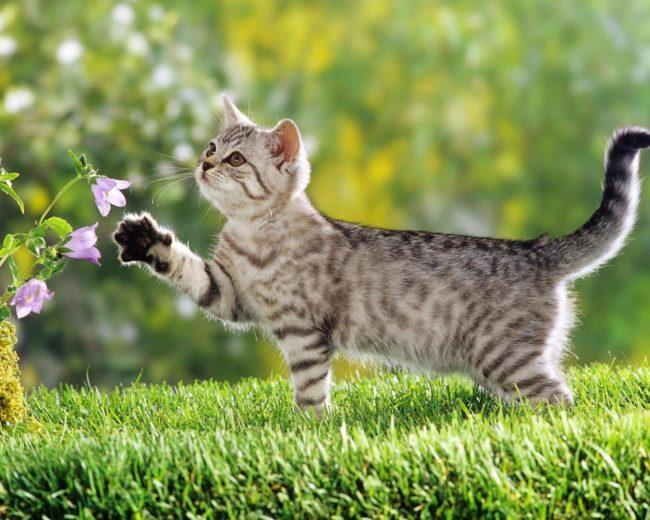British Shorthair kitten - next to bluebell